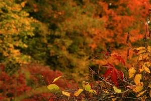 Hur kan löven ändra färg och lossna på hösten